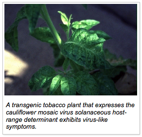 A transgenic tobacco plant that expresses the cauliflower mosaic virus solanaceous host-range determinant exhibits virus-like symptoms.